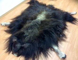 Skins of Taxidermy - Muskox Skin